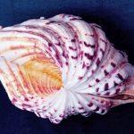 Фарфоровый моллюск — Hippopus