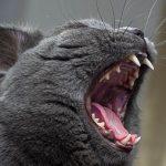 Почему кошка не ревёт как лев?