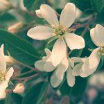 Ирга – июньская ягода