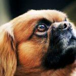 Пекинес – что это за собака?