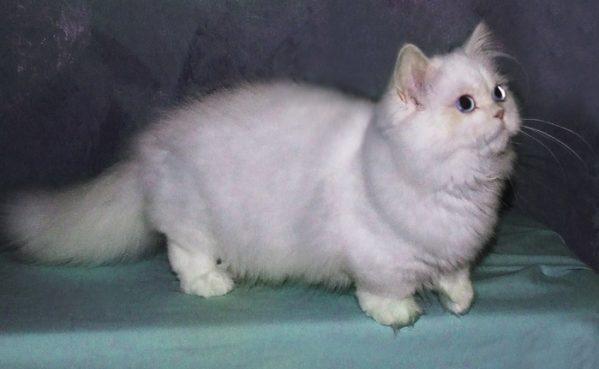Наполеон: экзотический кот