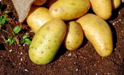 Такую картошку есть нельзя!