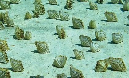 Фарфоровый моллюск - Hippopus