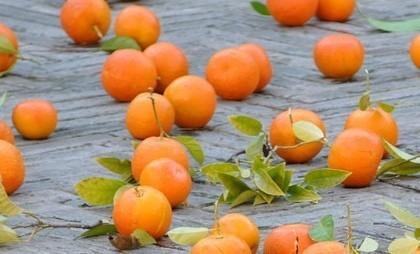 Апельсин как символ свободы: карнавал в Ивреа
