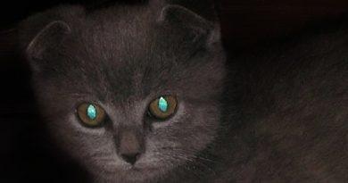 Почему светятся кошачьи глаза?