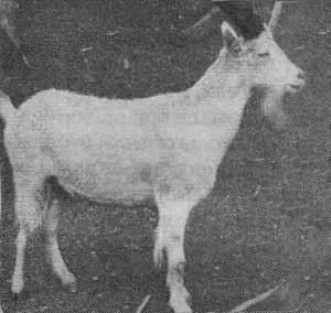 козлотур