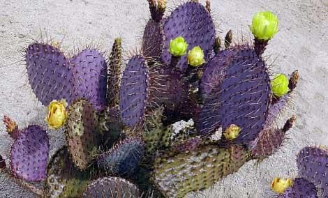 фиолетовый кактус Мапими