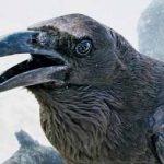 Ворон – самая умная птица? Интересные факты.