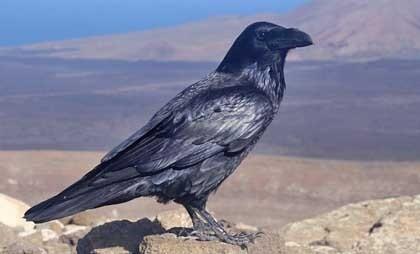 Ворон - самая умная птица? Интересные факты.