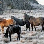 Брамби: трагедия диких лошадей