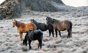 брамби австралийская дикая лошадь