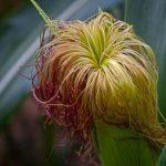 Почему кукуруза волосатая?