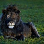 Чёрный лев – редкость или миф?