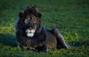 черный лев меланизм