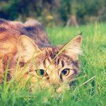 Почему кошки виляют задом перед прыжком?