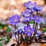 Печёночница: декоративный и лекарственный цветок